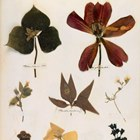 sheet from Emily Dickinson's herbarium, c.1839–46. Courtesy of the Houghton Library, Harvard University 140x140